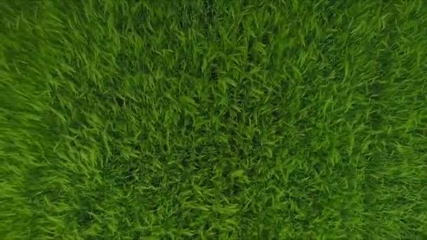 Luftaufnahmen von grünen Weizen Feld Rasen Wellen Sommer Wind bewegt. Natur-Hintergrund