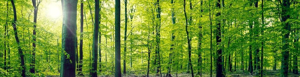 Фотообои Beech forest panorama landscape