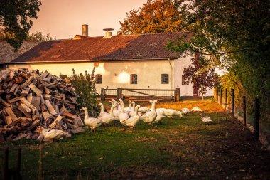 Geese at a farm house