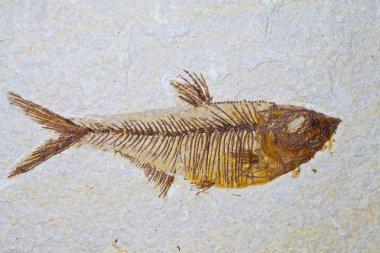 fossil skeleton of prehistoric fish