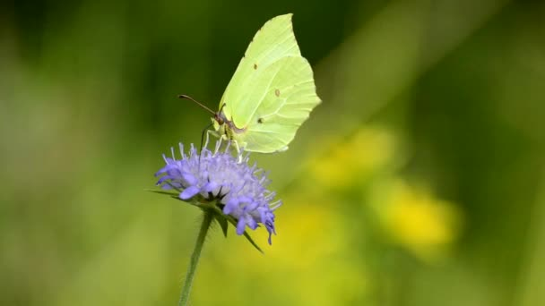 Brimstone butterfly, Gonepteryx rhamni, on flower