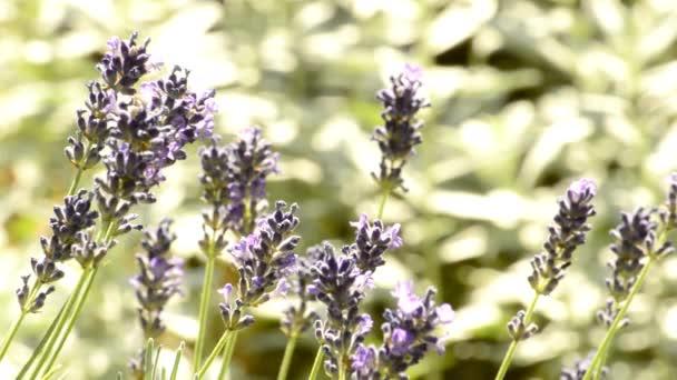 Levandule, léčivých rostlin a koření s květinou