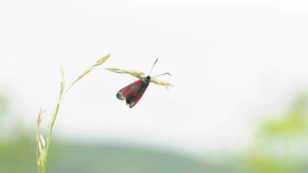 Moly Csüngőlepkefélék