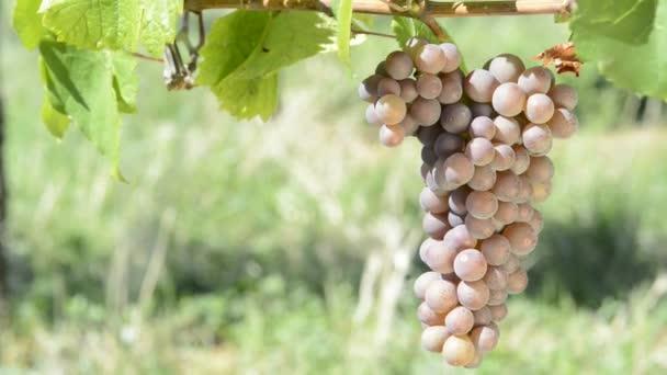 Vinné révy na vinici