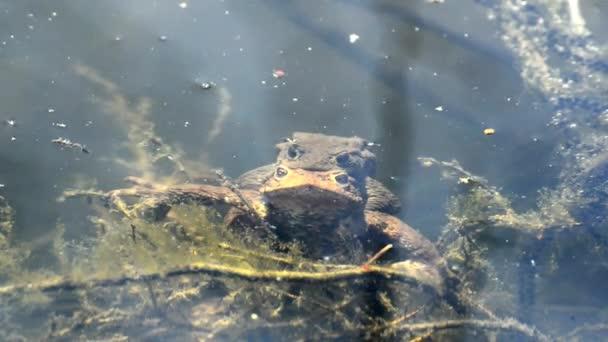 Frösche bei der Fortpflanzung im Teich
