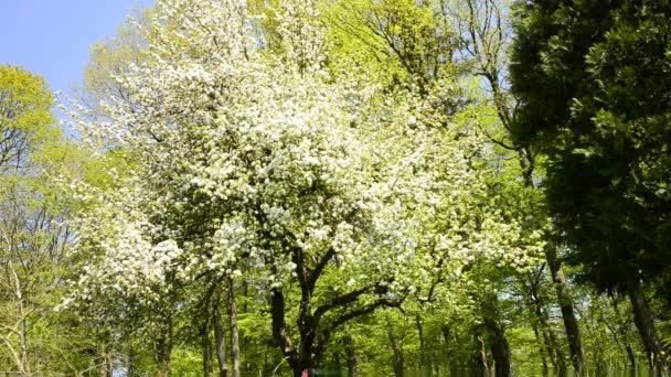 Obstbaum mit Blüte