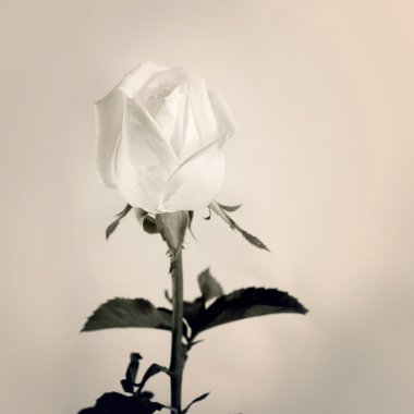 White roses on grief