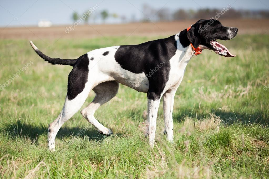 English Pointer in hunt