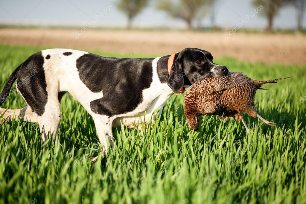 english pointer dog with pray