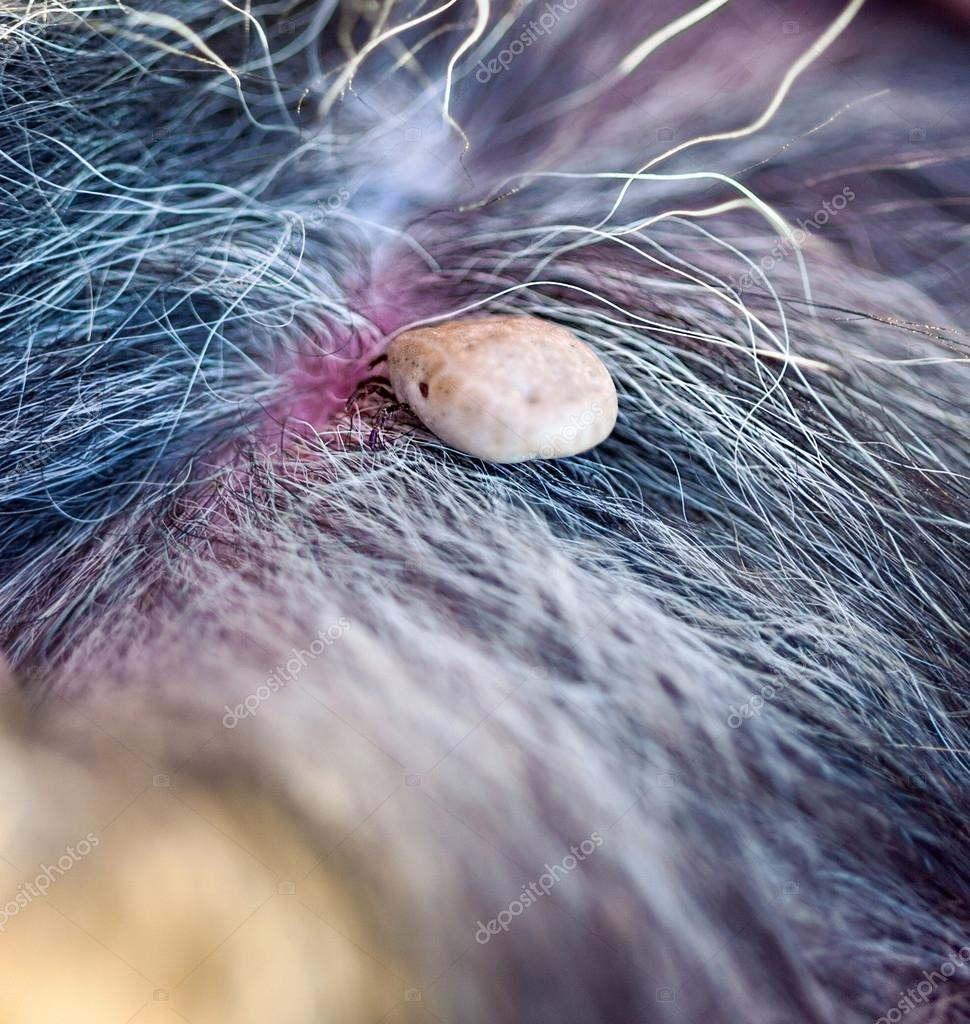 macro picture tick on a dog