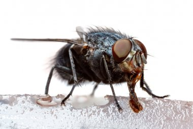 Macro of feeding fly