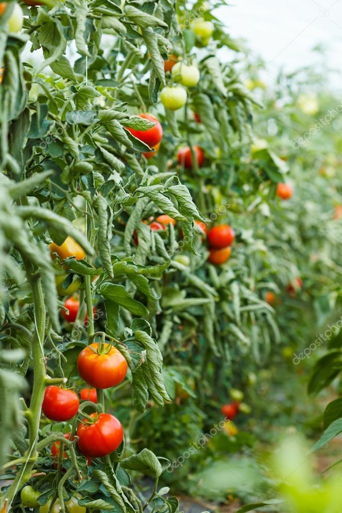 tomaten pflanzen die im gew chshaus wachsen stockfoto icefront 104882216. Black Bedroom Furniture Sets. Home Design Ideas