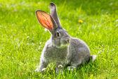 Coniglio grigio verde erba