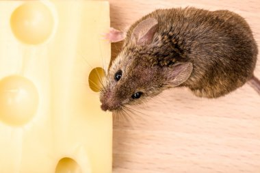 House mouse (Mus musculus) eating cheese