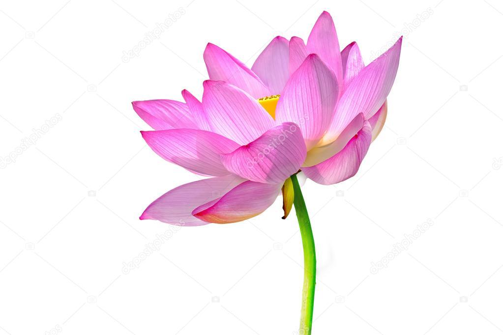 Lotusblume, die isoliert auf weißem Hintergrund — Stockfoto ...