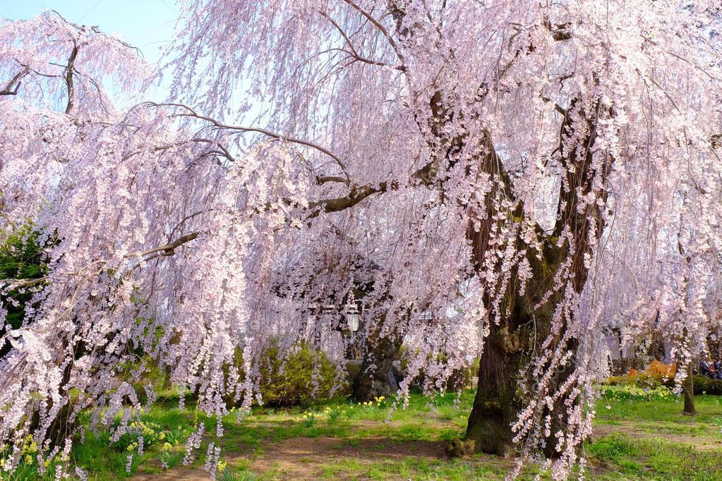 Sakura blossom or Japanese cherry tree — Stock Photo ...