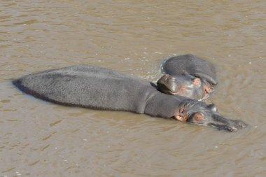 Mother Hippopotamus and her baby sleeping under the water