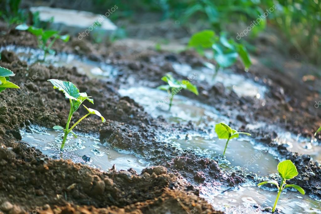 Cucumber sprouts in garden