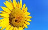 Fotografie slunečnicová pole a modré nebe