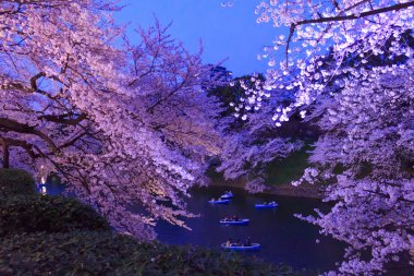 Cherry blossoms in Tokyo, Japan