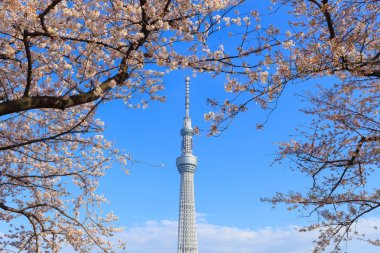 Cherry blossoms and the Tokyo Skytree in Tokyo