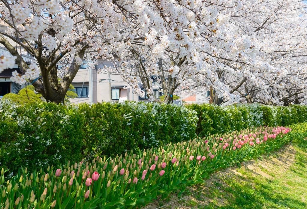 Cherry blossoms, Shinanogawa Yasuragi Tsutsumi Park