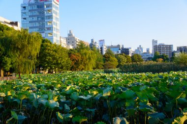 Lotus at the Shinobazu Pond