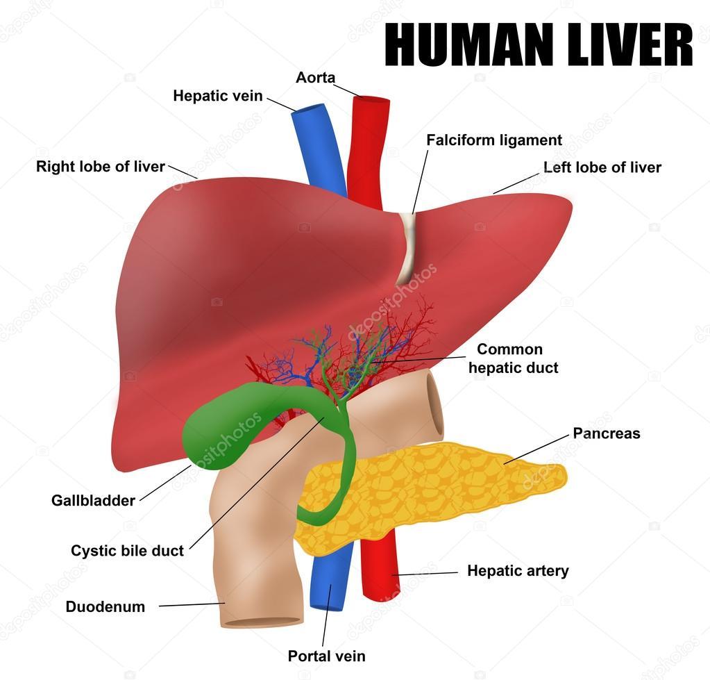 Anatomyof der menschlichen Leber — Stockvektor © roxanabalint #95755246