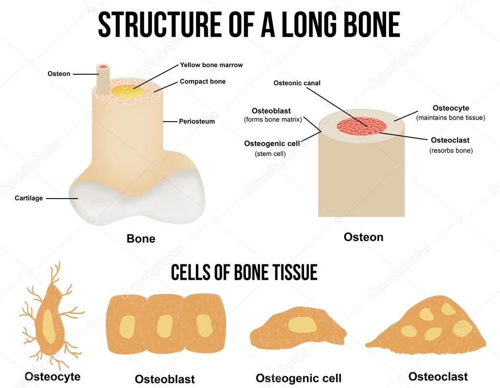 Struktur eines langen Knochens — Stockvektor © roxanabalint #95900882