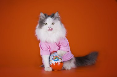 cat with a kinder surprise on an orange background