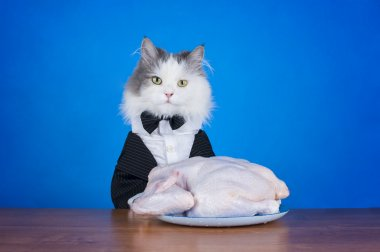 cat in tails eats chicken