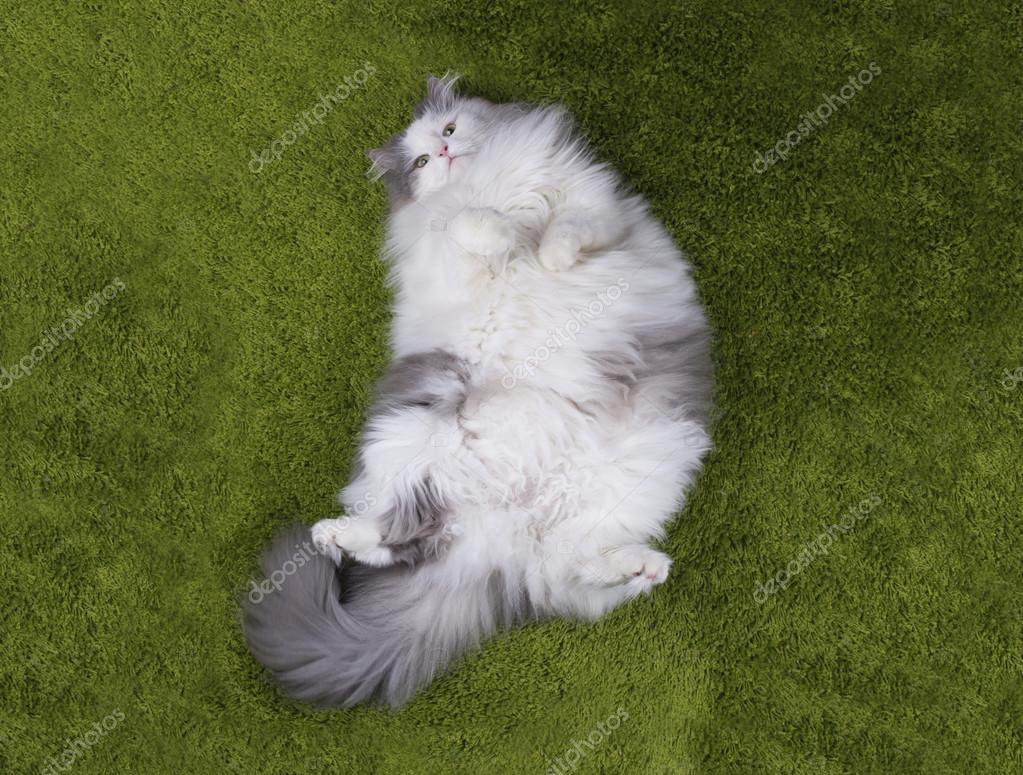 fat cat lying nazelenoy grass