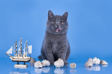 British kitten playing with a ship on the blue background isolat