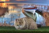 British cat fishing on the river