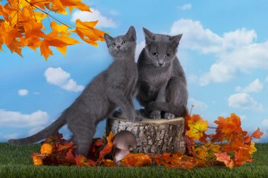 Russian blue cat is walking on the grass