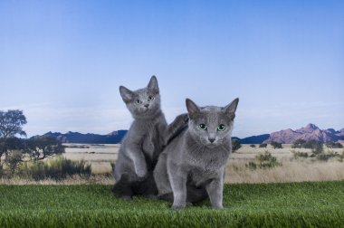 Russian blue cat on a background of the steppes and mountains