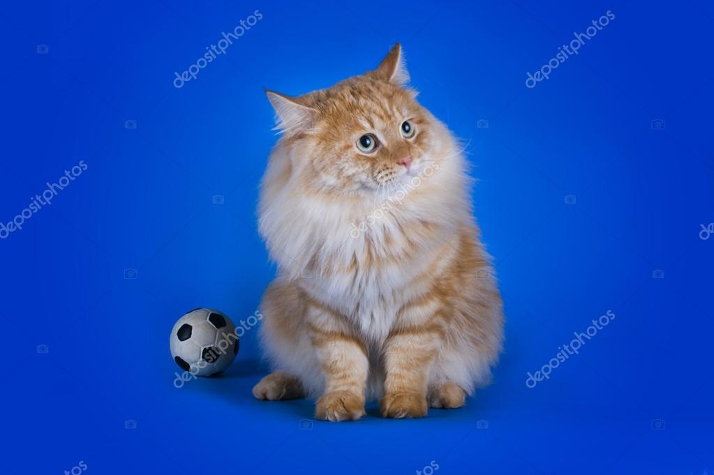 Czerwony Kot Syberyjski Na Na Białym Tle Niebieski Zdjęcie