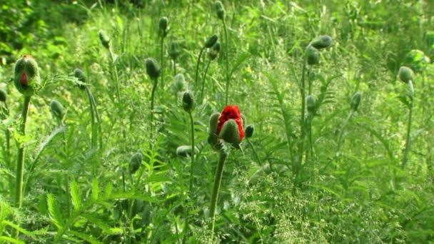 Makový květ Bud v oboru