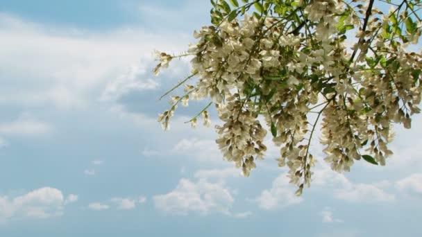 Větev s květy akátu v jarní