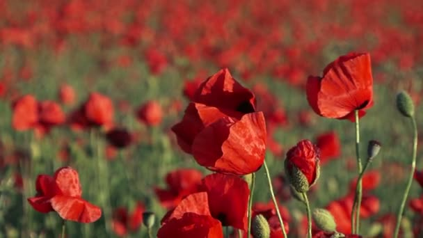 Field Poppies Swaying On Breeze