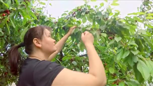 Concentrated Woman Harvesting Cherries In The Garden