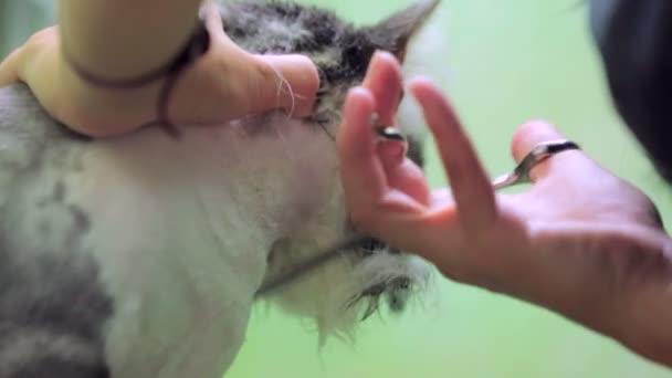 Kočka čeledín stříhání nůžkami