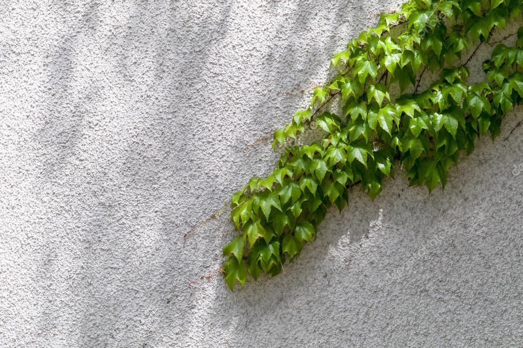 Ivy On A Brick Wall Symbolizing Growth And Strength Stock Photo