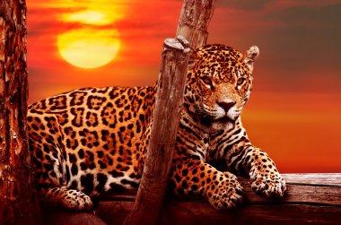 Jaguar sitting at sunset