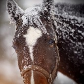 Fotografie Muzzle of a wet sad brown horse in snow.