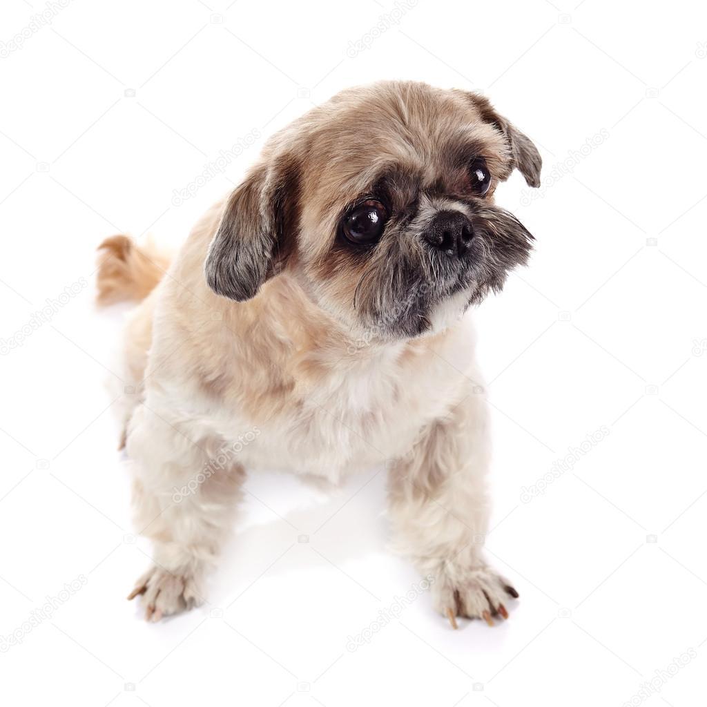 Beige Doggie Of Breed Of A Shih Tzu Stock Photo Azaliya 68609175