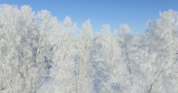 4k letecké: ráno v lese zimní... Zmrazené břízy s mrazem v zimě pole a modré nebe