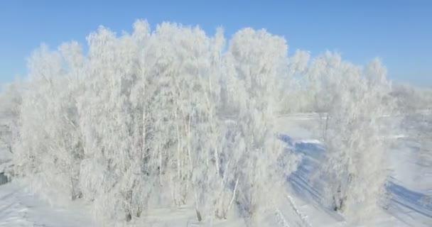 Anténa: ráno v lese zimní... Zmrazené břízy s mrazem v zimě pole a modré nebe