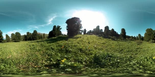 UHD 4K 360 VR zeleného horského lesa. Sluneční paprsky a stíny, tráva a borovice.