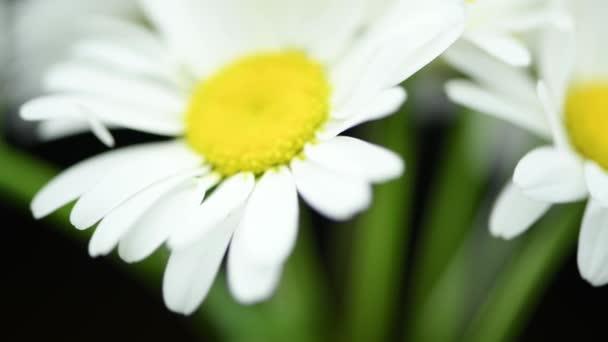 Close-up of bouquet wild chamomile flowers on the black. Key ready background. Slow rotation motion. Macro.